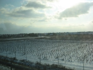 Ice wine on the vine