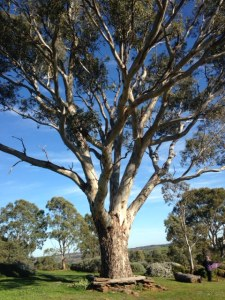 Mighty gum tree